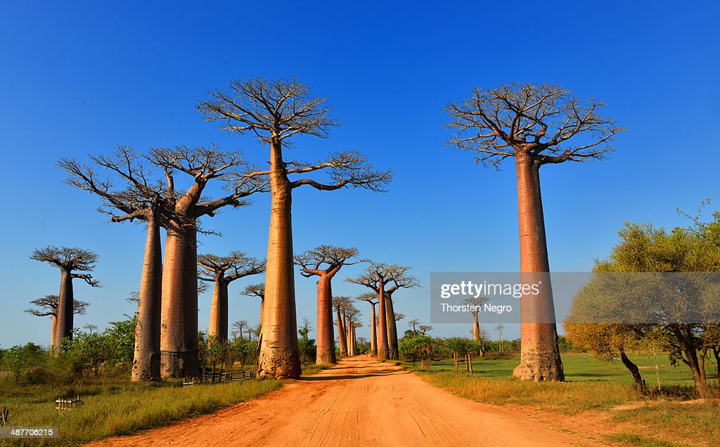 Baobab trees -Adansonia grandidieri-, Avenue of the Baobabs, Morondava, Madagascar : Stock Photo