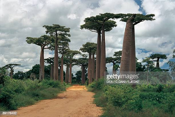 Baobab trees along a dirt road Morondava Madagascar