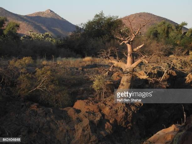 Baobab trees and bush land around the Kunene