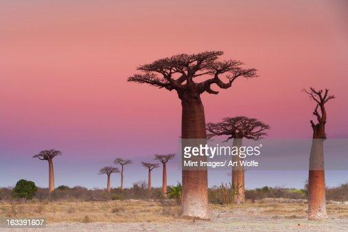 Baobab trees, Madagascar : Stock Photo