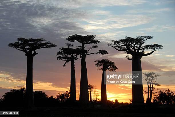 Baobab trees sunset
