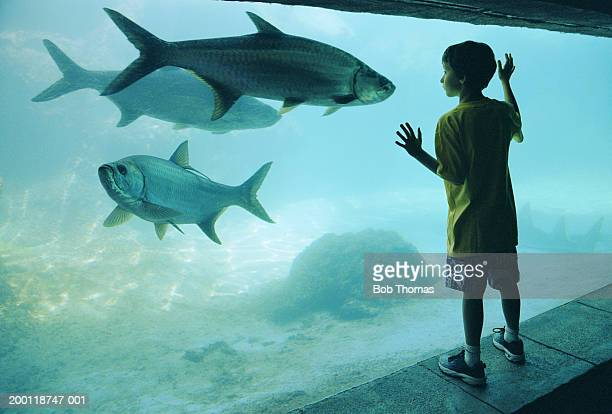 Boy (7-9) watching fish in aquarium, hands pressed against glass