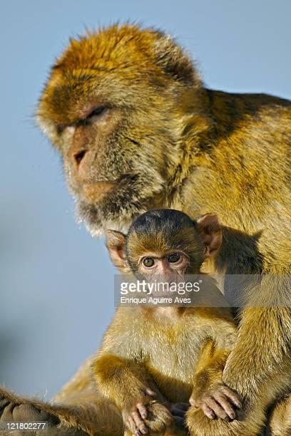 Barbary Ape, Macaca sylvanus, with baby, Gibraltar