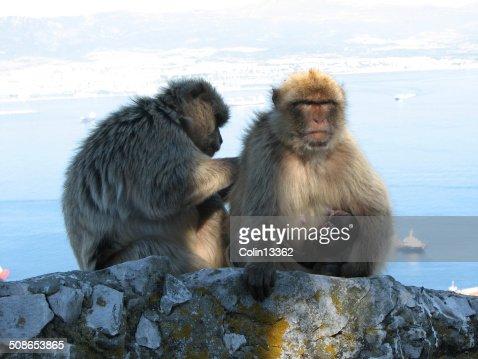 barbary ape : Stock Photo