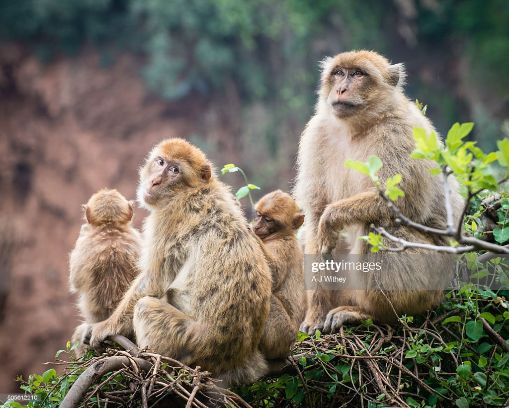 Barbary apes in the Atlas mountains