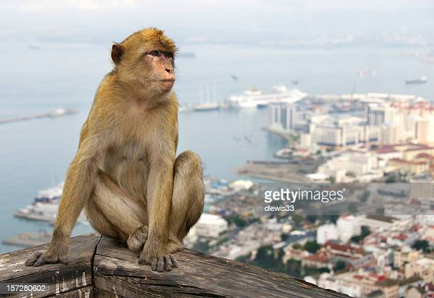 Barbary Apes of Gibralter