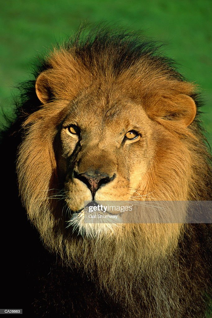 Barbary Lion (Panthera leo), close-up : Stock Photo