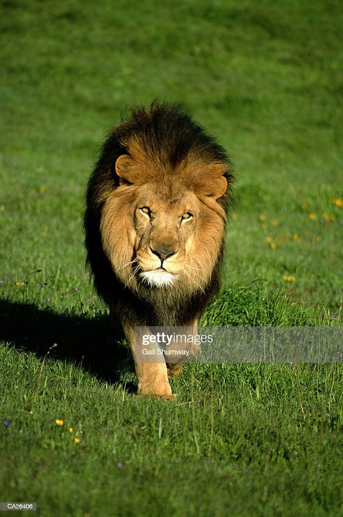 Barbary Lion (Panthera leo) : Stock Photo