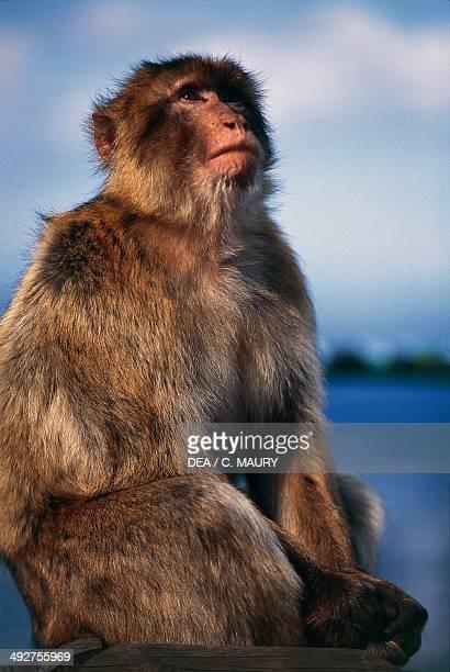 Barbary macaque Barbary ape or Magot Cercopithecidae Gibraltar