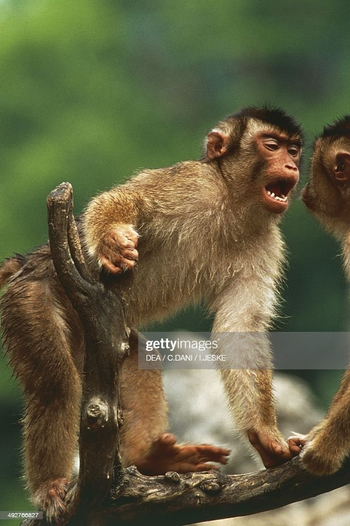 Image result for Trump and Barbary ape