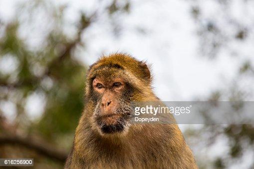 Barbary Macaque, Gibralta. : Stock Photo
