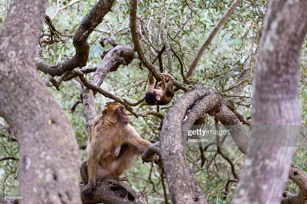 Barbary Macaque, Gibralta. : Foto de stock