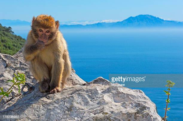 Barbary Macaque Gibraltar UK