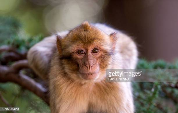 A Barbary macaque looks on from a tree branch in a forest near the Moroccan town of Azrou in the Atlas mountain chain on April 15 2017 The Barbary...