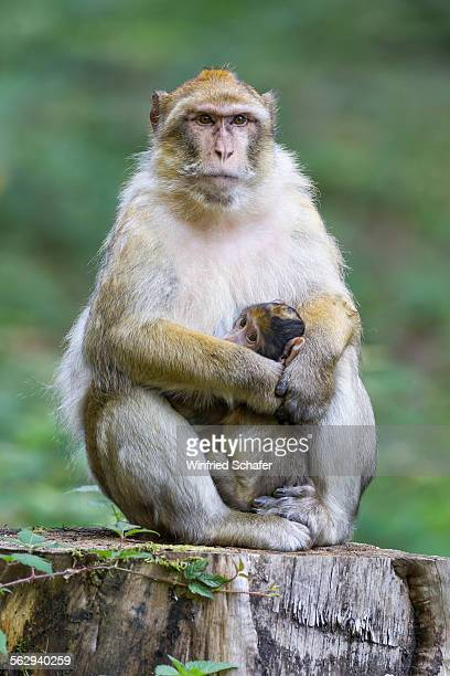 Barbary Macaque -Macaca sylvanus- adult female with young, 12 weeks, native to Morocco, captive, Rhineland-Palatinate, Germany