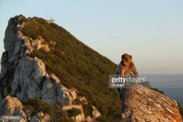 A barbary macaque monkey in the 'Upper Rock Nature Reserve' on the Rock of Gibraltar on August 6 2013 in Gibraltar Tensions between the British and...