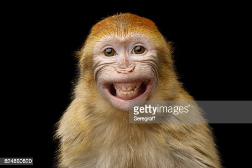 Barbary Macaque : Foto de stock