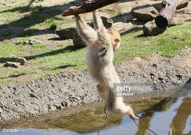 Barbary Macaque Swinger
