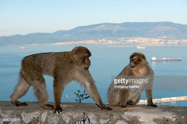Barbary macaques at the Rock of Gibraltar which is a British Overseas Territory located on the southern end of the Iberian Peninsula
