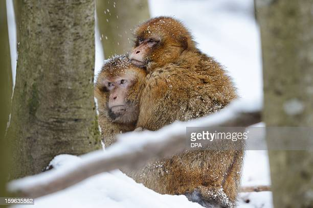 Barbary macaques cuddle in fresh snow at the zoo near Salem Germany on January 17 2013 AFP PHOTO / Felix Kästle /GERMANY OUT