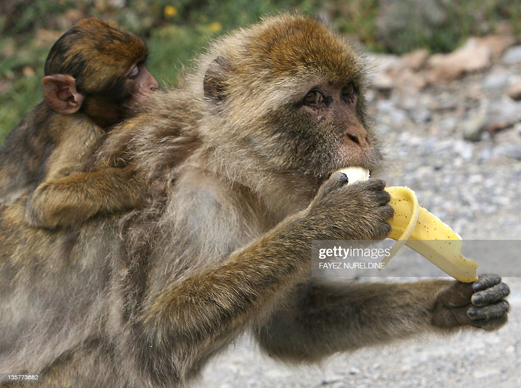 A Barbary Macaques (Macaca sylvanus) eats a banana at a monkeys park near Bijaya area, 210 kms east of Algiers City 07 June 2006. The tail-less monkeys are found in several mountains in the south and east of Algiers as well as Morocco. The Barbary Macaque is one of the best-known Old World monkey species.