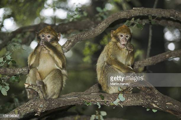 Barbary Macaques, Macaca sylvanus. Young monkeys playing. Barbary apes are a vulnerable species and their habitat is threatened by habitat loss. Cedar forests around town of Azrou. Morocco