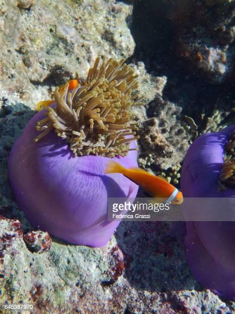Barberi Clownfish on Sea Anemone