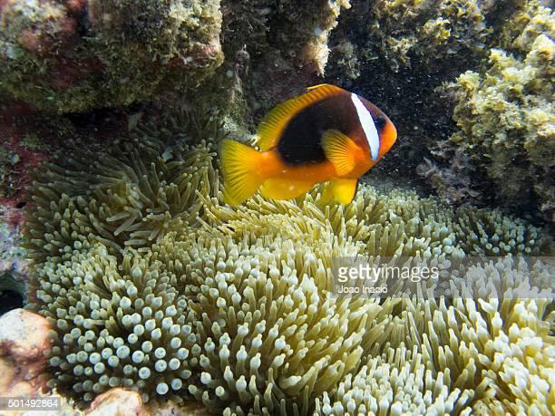 Pesce pagliaccio rosso foto e immagini stock getty images for Pesce pagliaccio foto
