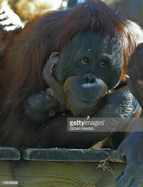 Jawi the orangutan holds her new baby Locki born yesterday at Barcelona zoo 16 February 2007 The sex of Locki is still unknown as mother and child...