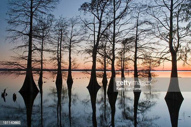 Bare bald Cypress trees at sunset