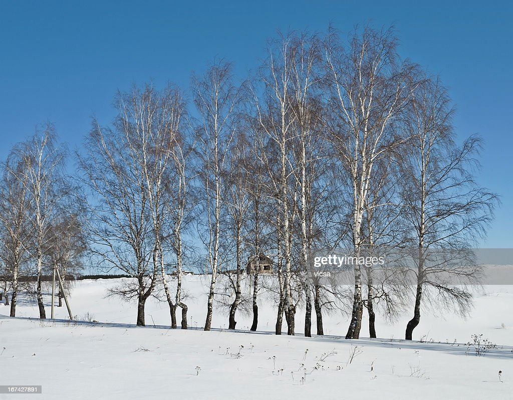 Bare birches in early spring : Stock Photo