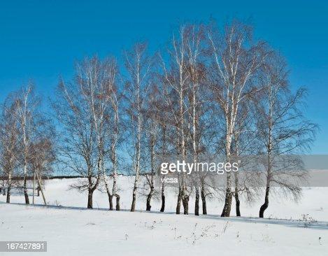 Nudo birches all'inizio della primavera : Foto stock