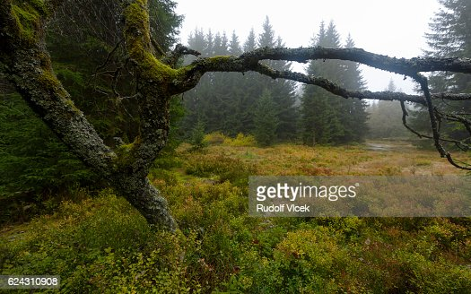 Bare Rowan tree (sorbus) overgrown by lichen and moss