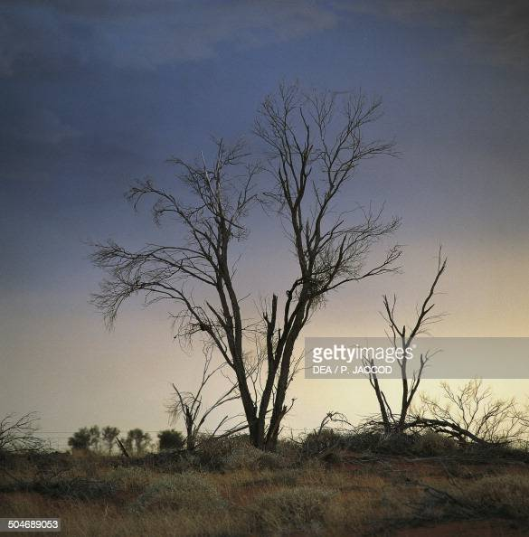 Bare tree and stormy sky landscape near Woomera along Stuart Highway South Australia