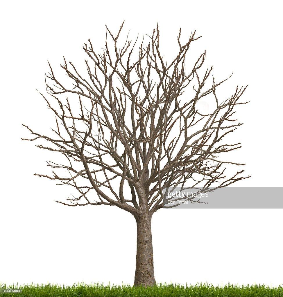 Bare tree, empty money tree, white background : Stock Photo