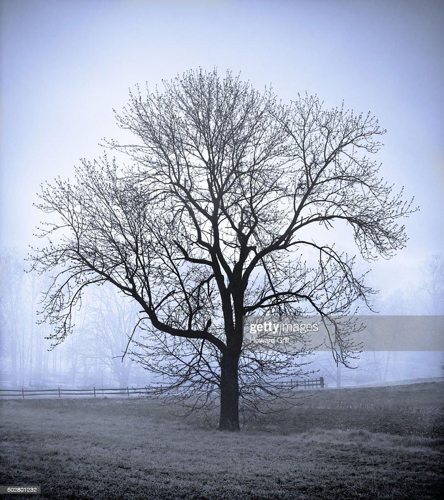 Bare Tree In Field On Farm In Fog; Blue Toned