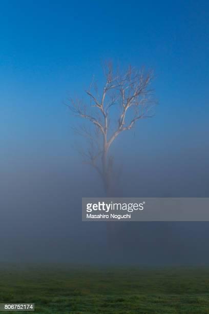 A bare tree in the morning fog, in the Scenic Rim Region, Queensland, Australia