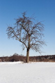 Bare tree in winter snow covered landscape with blue sky