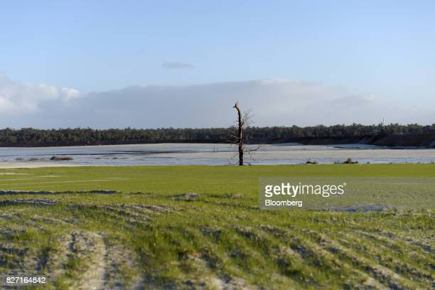 A bare tree stands as revegetation grows on the edge of a tailings dam at a Talison Lithium Ltd facility a joint venture between Tianqi Lithium Corp...