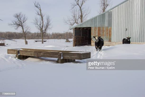 Bare Trees And Cows On Snow Covered Landscape Against Sky