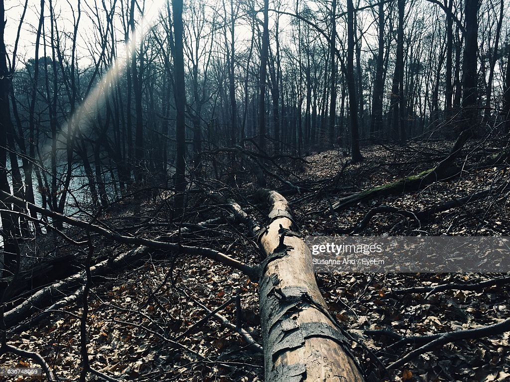 Bare Trees By Lake In Forest