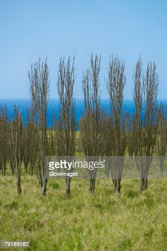 Bare trees in a field, Pololu Valley, Kohala, Big Island, Hawaii Islands, USA : Foto de stock