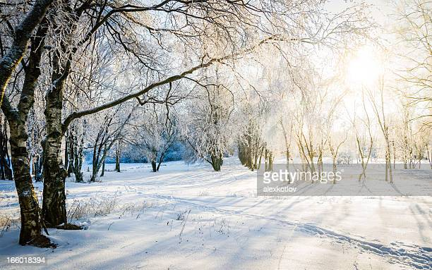 Bare trees in a forest in sunny winter