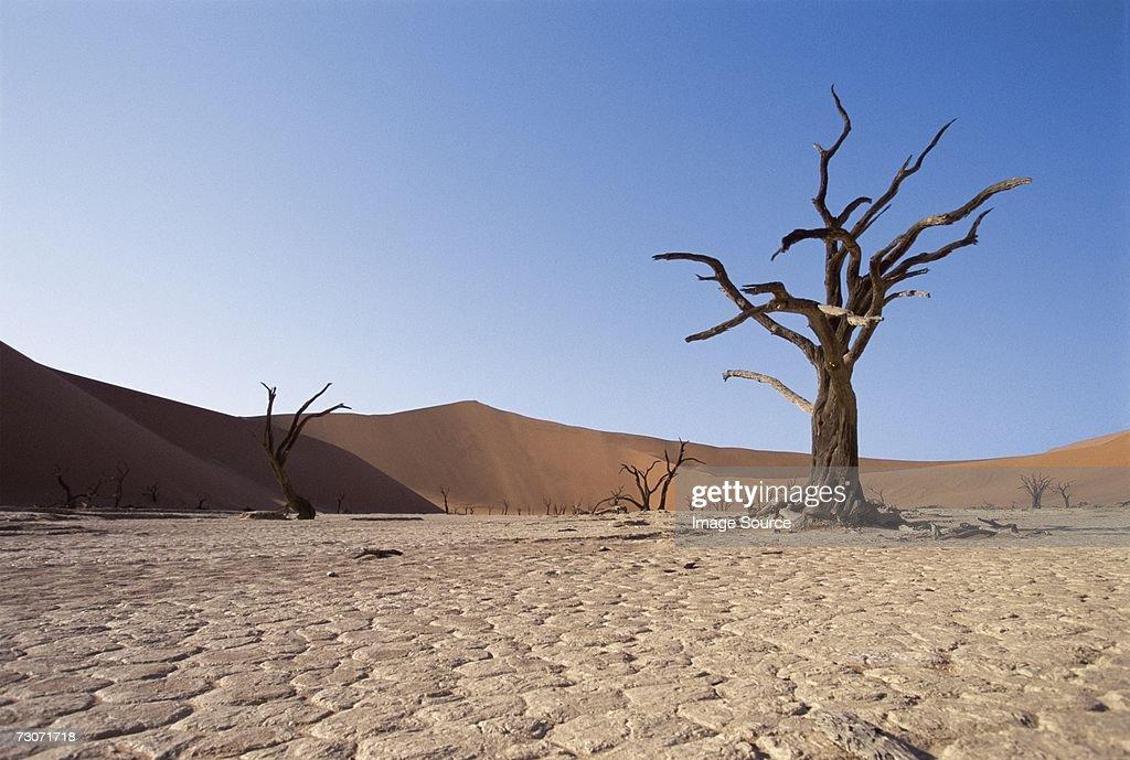 Bare trees in the desert : Stock Photo