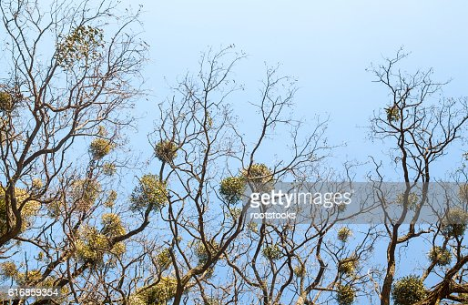 Bare trees with mistletoes : Stock Photo
