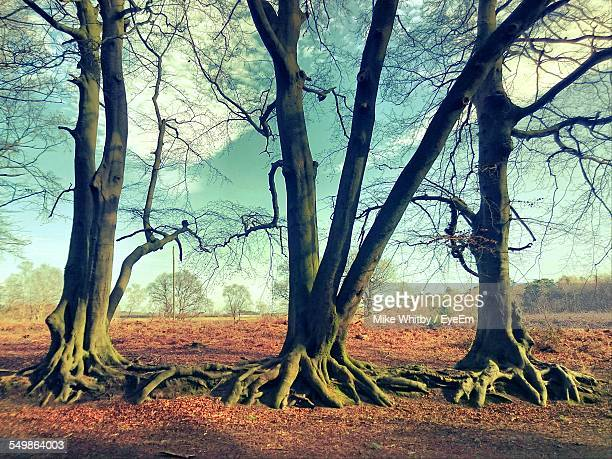 Bare Trees With Root Spreading On Landscape