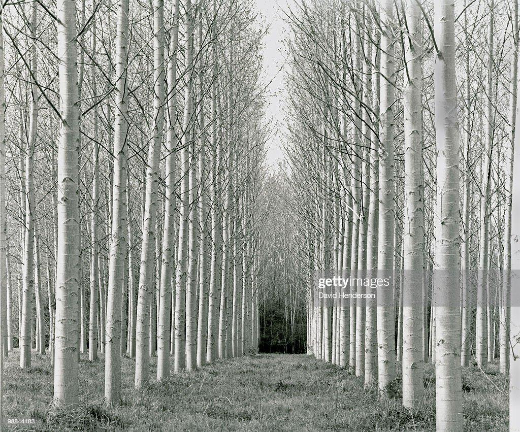 Bare, white-trunked trees : Stock Photo
