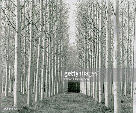 Bare, white-trunked trees : Stock-Foto