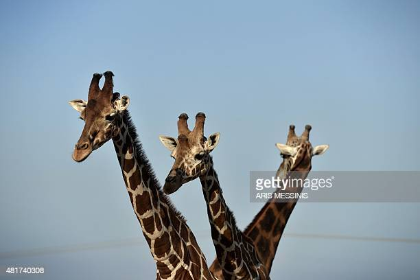 Baringo Giraffes are pictured at the Attica Zoological Park in Spata near Athens on July 23 2015 Between a zoo struggling to import food for its...