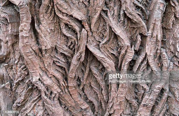 Bark detail of White Willow, Hungary / (Salix alba)